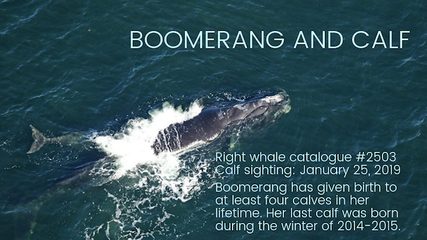 Boomerang and calf
