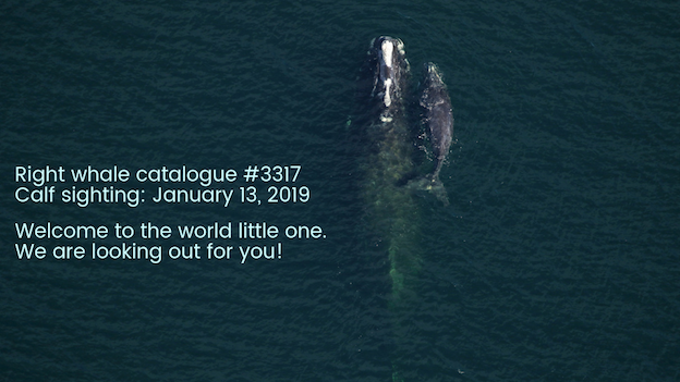 right whale #3317