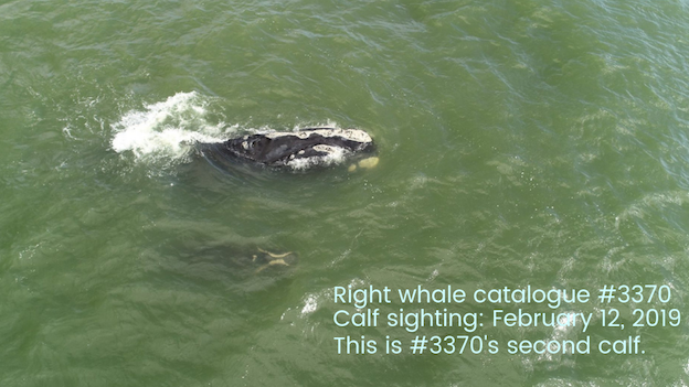 right whale #3370