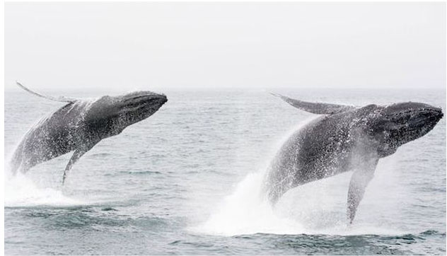 Humpback whales double breaching