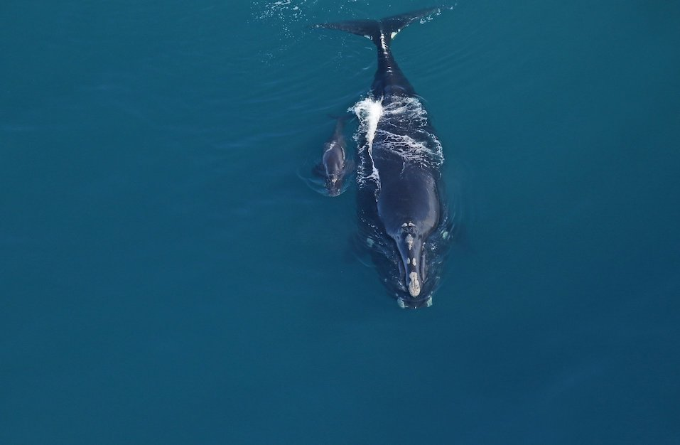 Right whale baby #1
