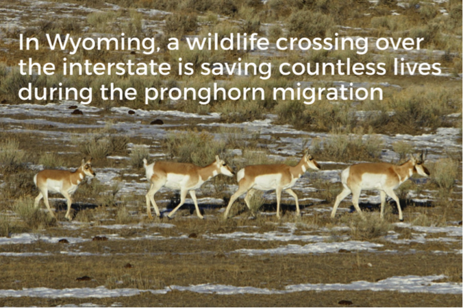 Wildlife crossing save countless migrating pronghorn