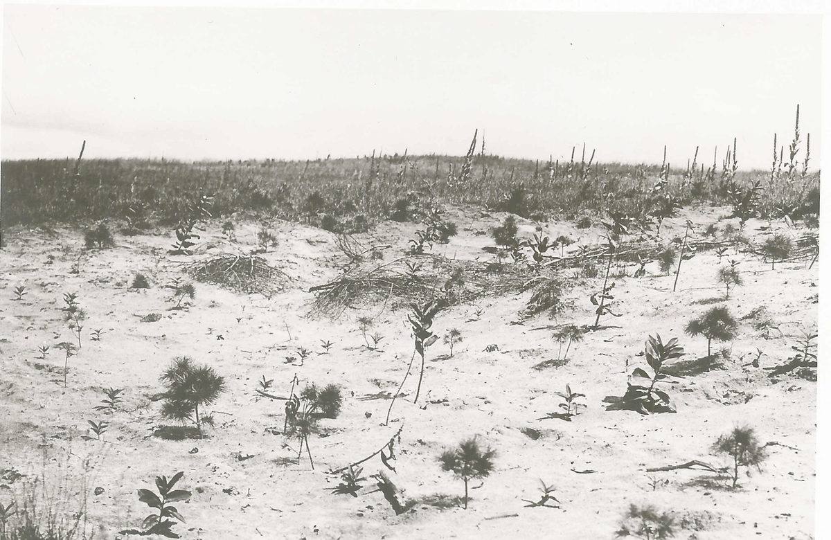 1905 photo of trees planted at the farm owned by Francis Squair