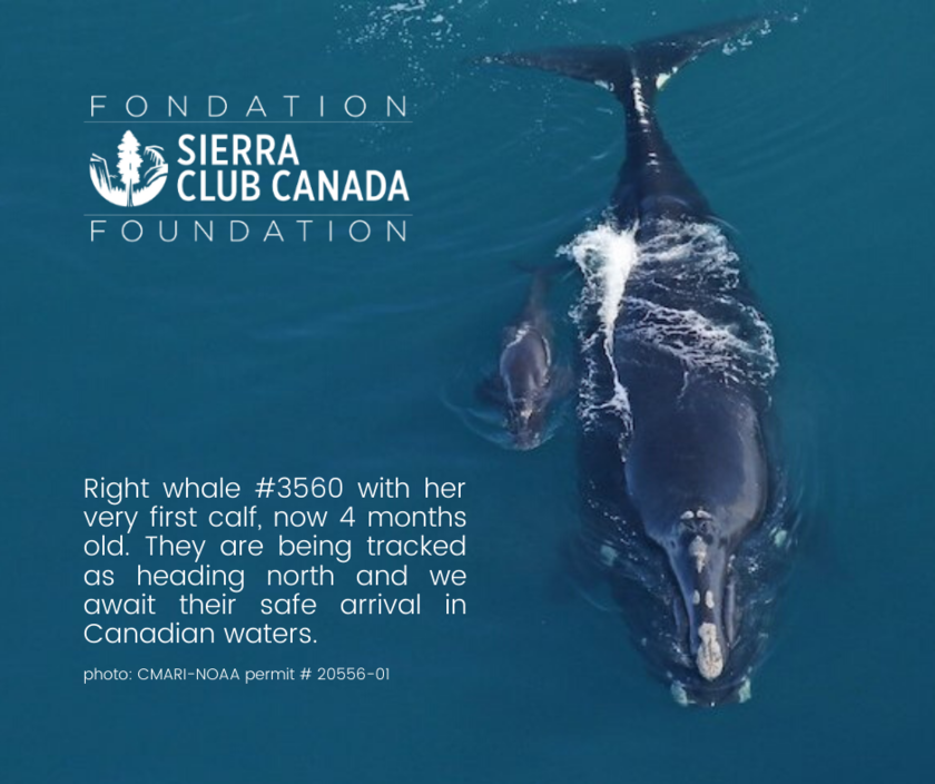 Right whale 3560 and calf