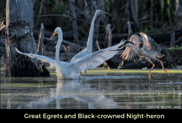 Great Egrets and Black-crowned Night-heron