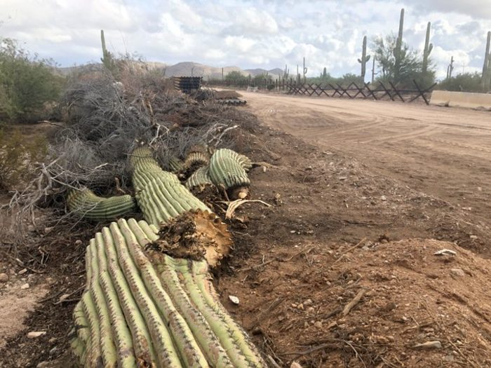 Destruction of protected cacti