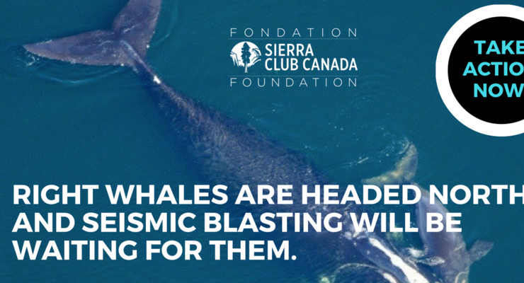 Right whales are headed north and seismic blasting will be waiting for them.