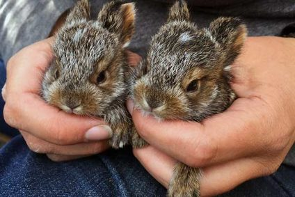 Baby Snowshoe Hares. Photos courtesy of Sophia Lavergne http://sophialav.weebly.com/