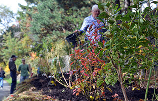 Rows of blueberry bushes planted in the Dartmouth Common