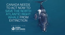 Canada Needs to Act Now to Save the North Atlantic Right Whale from Extinction